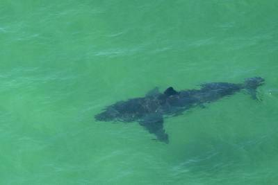 Hali, a great white shark, is located off east coast of Florida